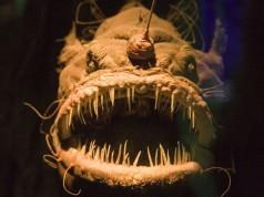 Bizarre Ocean Creatures: The Angler Fish