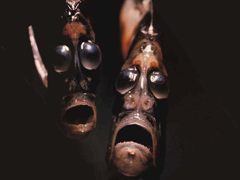 Bizarre Ocean Creatures The Hatchetfish