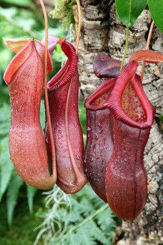 Pitcher plant (Nepenthes spectabilis X ventricosa)