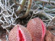 Subterranean Plant (Hydnora africana) 1